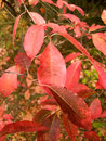 Free Red Leaves Stock Photos - 3308223