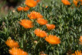 Free Orange Flower Orange Vygie Stock Photo - 3373350