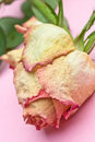 Free Wilted Rose Royalty Free Stock Images - 3403699