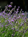 Free Lavender Stock Images - 3439484
