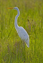 Free Great Egret Stock Images - 3519464