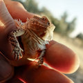 Free Horned Toad Or Horned Lizard Royalty Free Stock Image - 3898746