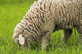 Free Sheep Stock Photos - 3933733