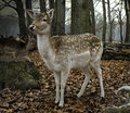 Free Roe Deer Royalty Free Stock Photos - 3950128