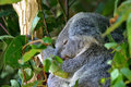 Free Koala Bear Stock Photography - 3985072