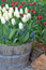 Free White Spring Tulips In Barrel Planter Royalty Free Stock Image - 39824666