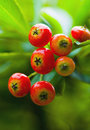 Free Red Pyracantha Stock Photo - 3990740