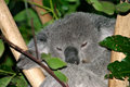 Free Koala Bear Stock Images - 4002684