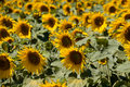 Free Sunflower Field Stock Image - 4066151