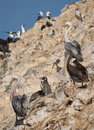 Free Wildlife On Islas Ballestas In Peru Stock Photos - 4098243