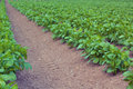 Free Crop Row Royalty Free Stock Photography - 4199747