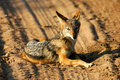 Free African Jackal Stock Image - 4217751