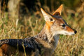 Free African Jackal Royalty Free Stock Photography - 4217757