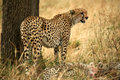 Free Watchful Cheetah With Cubs Royalty Free Stock Images - 4230849