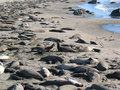 Free Elephant Seals Royalty Free Stock Photo - 4238575