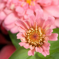 Free Pink Zinnia Blooming Stock Photo - 4361460
