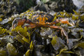 Free Crab With Raised Claws On Seaweed Royalty Free Stock Photos - 4427748