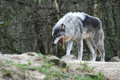 Free Wolf Stock Photography - 4452352
