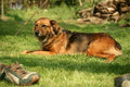 Free A Dog In Sunshine Royalty Free Stock Photos - 4475878