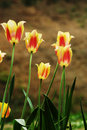Free Tulips Backlight Stock Photos - 4523903