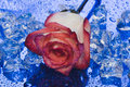 Free Ice With Rose On Blue Background Royalty Free Stock Photo - 4642975