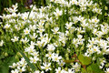 Free Caryophillaceae - Stellaria Holostea L. Mass Bloom Stock Photography - 4715592