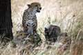 Free Watchful Cheetah With Cubs Stock Images - 4792814