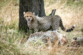 Free Cheetah Cub Standing Watchful In The Grass Royalty Free Stock Photography - 4793267