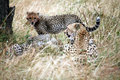 Free Cheetah Cub Standing Watchful In The Grass Stock Images - 4807044