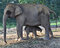 Free Young Elephant Beside Mother Elephant In The Forest Royalty Free Stock Photo - 48123675
