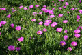 Free Hottentot Fig (Carpobrotus) Stock Photography - 4823362