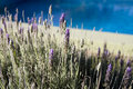 Free Lavender (poot At The Background) Stock Photography - 4877362