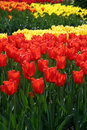 Free Red & Yellow Tulips Stock Photography - 4989672