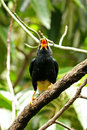 Free Yellow Faced Mynah Royalty Free Stock Images - 5095409
