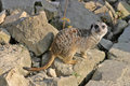 Free Meerkat (mammal) Stock Photography - 5226432