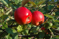 Free Two Ripe Apples On Tree Royalty Free Stock Photos - 5255718