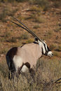 Free Gemsbok Stock Images - 5312844