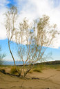 Free Saxaul Tree In Desert, Spring Morning, Kazakhstan Stock Image - 5338651