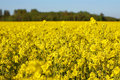 Free Canola Field Royalty Free Stock Photo - 5343995