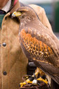 Free Harris Hawk On Gauntlet Stock Image - 5396631