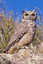 Free Great Horned Owl Stock Photography - 5449982