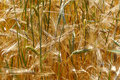Free Wheat Field Royalty Free Stock Photo - 5536435