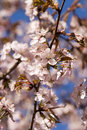 Free Pink And Blue Are Colors Of Spring Royalty Free Stock Photo - 5615595