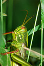 Free Fat Grasshopper Stock Photos - 5724043