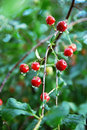 Free Cherries On Tree Stock Images - 5734014