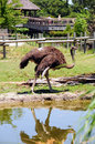 Free Ostrich Stock Images - 5738884