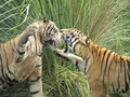 Free Tigers Fighting Royalty Free Stock Photography - 5744707