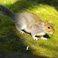 Free Squirrel Royalty Free Stock Image - 5790616
