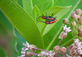 Free Milkweed Bugs Royalty Free Stock Images - 5899459