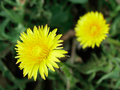 Free Dandelion Pair Stock Photography - 596372